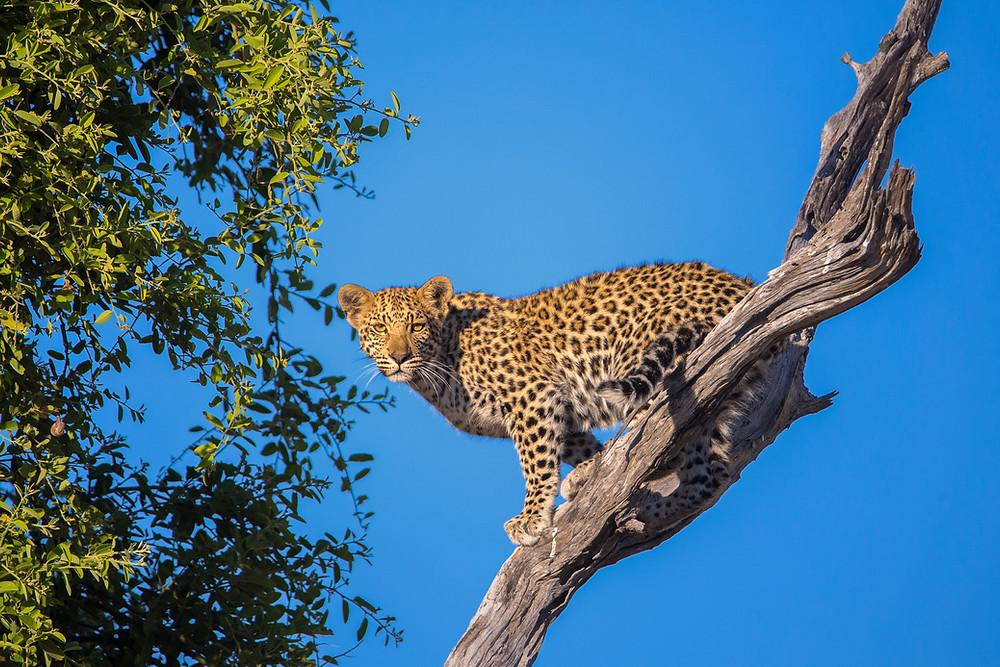 Leopard in a tree in the Okavango, Botswana