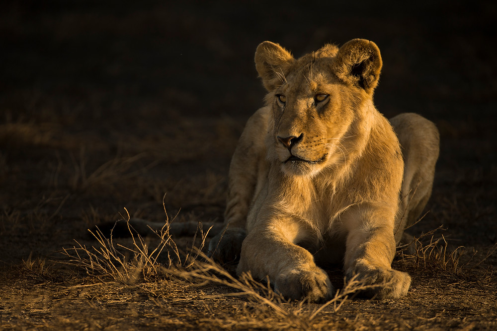 Young male lion in Serengeti