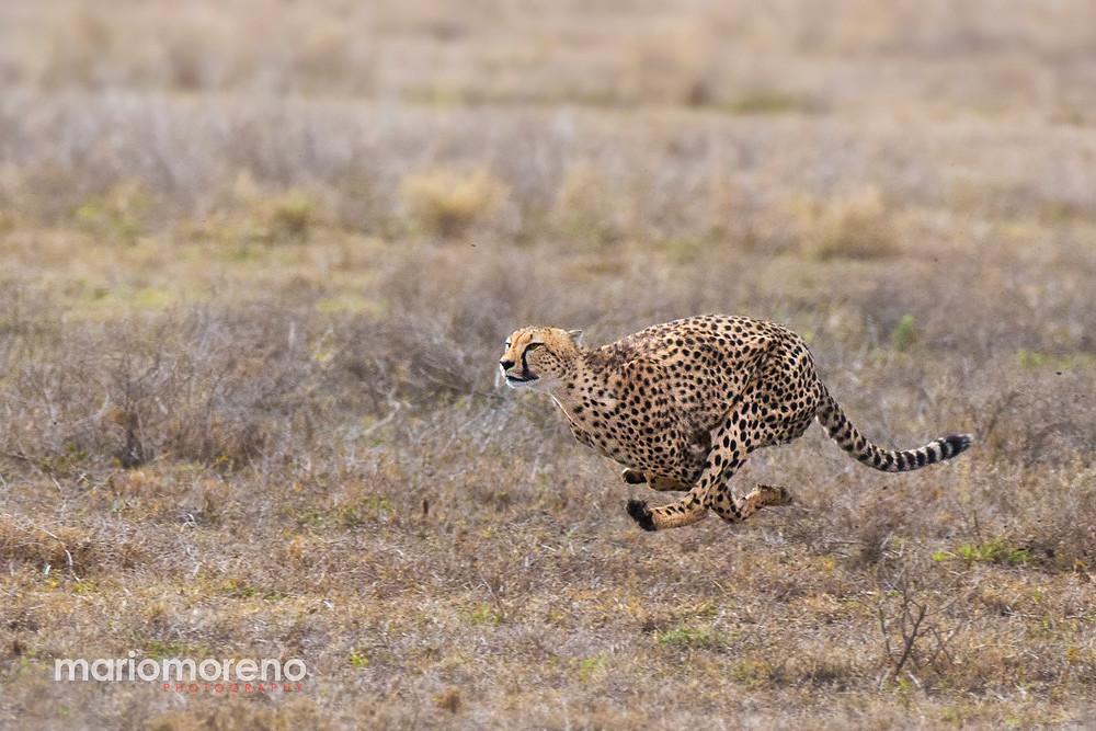 A cheetah running at full speed in Serengeti