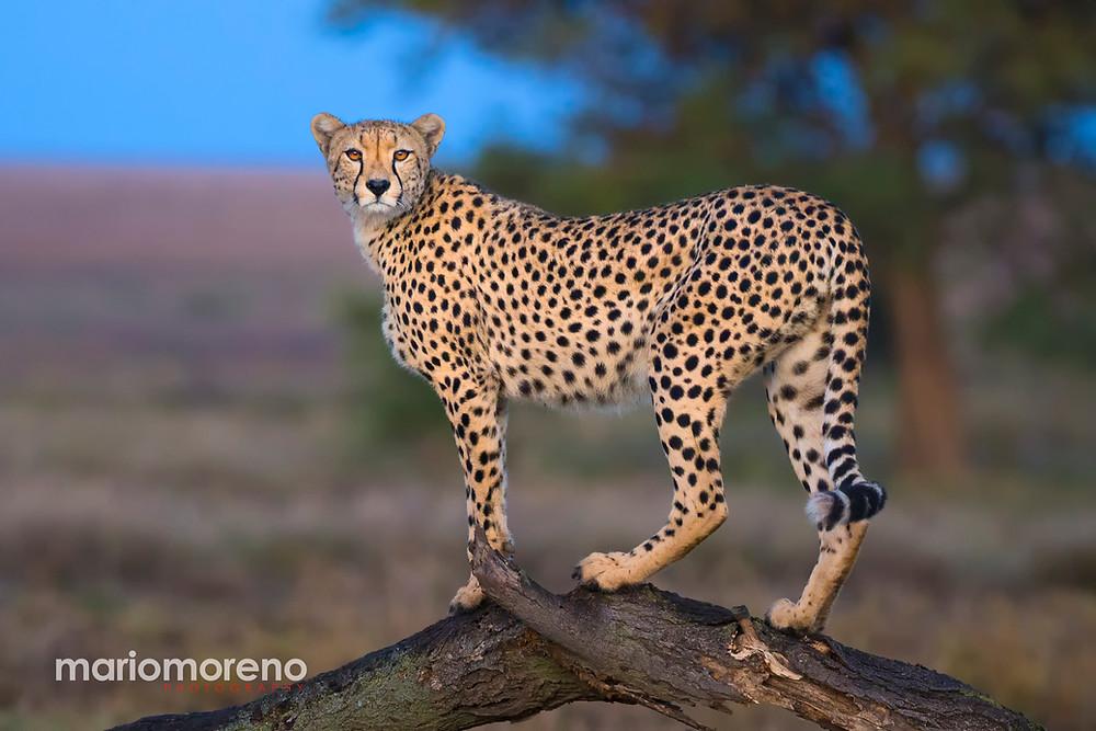 A cheetah on a dead tree in Serengeti