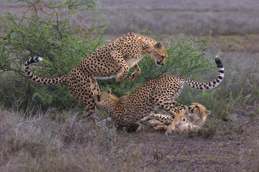Cheetahs playing in Ndutu, Tanzania