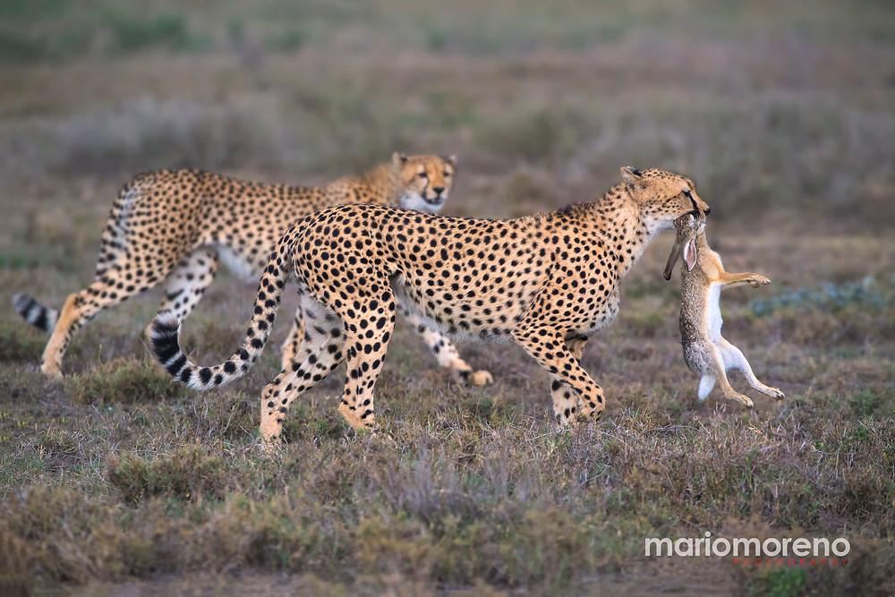 Cheetahs with a kill in Serengeti