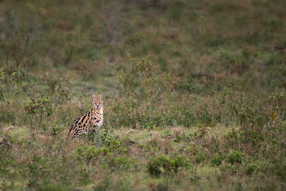 Serval Cat in Arusha National Park
