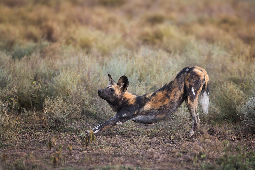 Wild Dog stretching in the Serengeti National Park