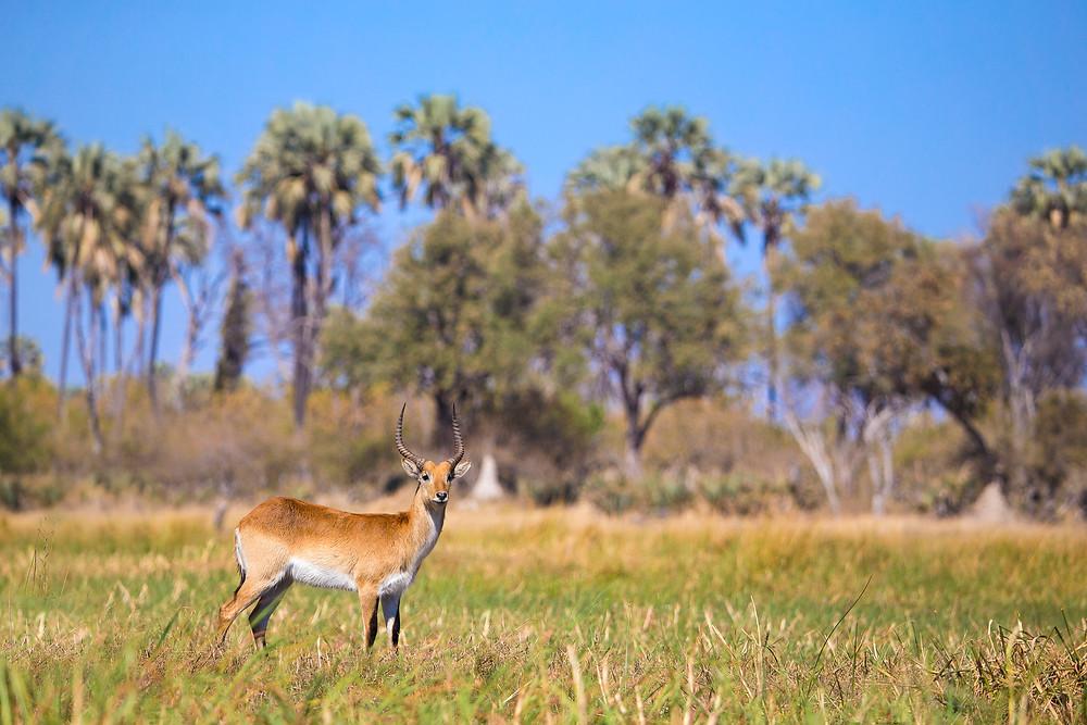 A red lechwe in the Okavango, Botswana
