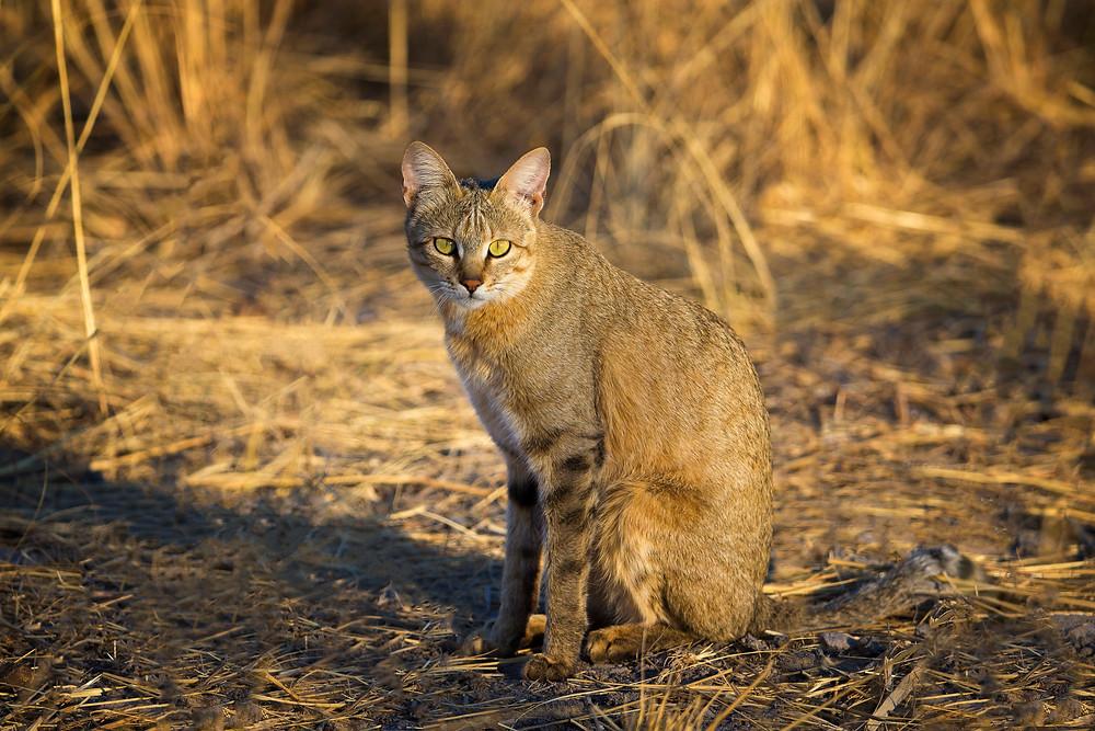 Wild cat in the Okavango, Botswana
