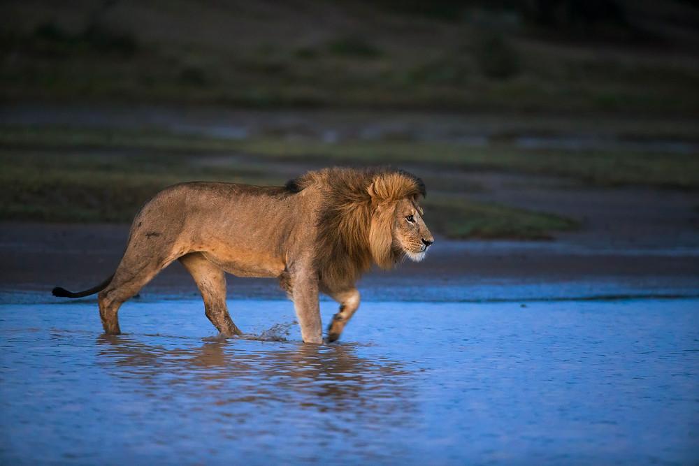 Lion in Ngorongoro Conservation Area, Tanzania