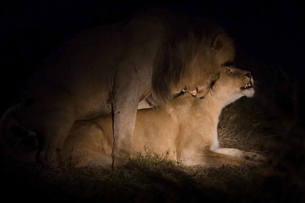 Lions mating in the Okavango, Botswana