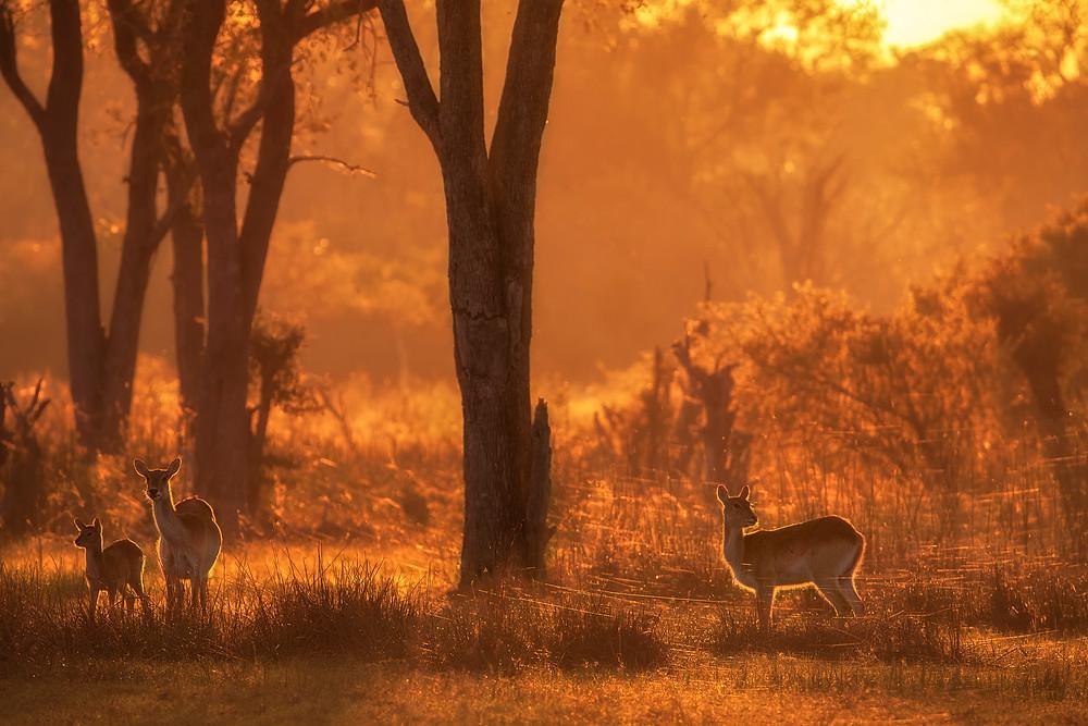 Red lechwe in the Okavango Delta in Botswana