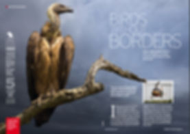 Image of a Cape vulture