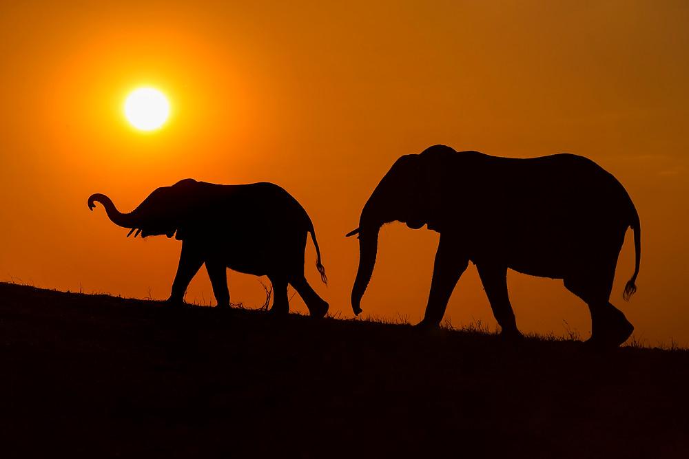 Elephant silhouettes at sunset in Chobe National Park, Botswana