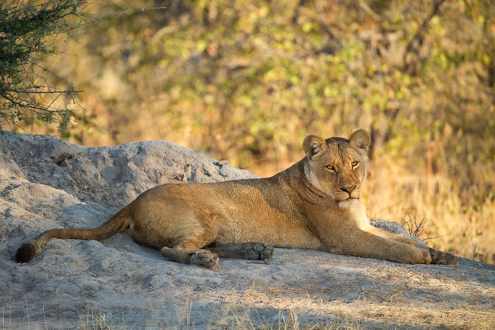 A lioness in the Okavango, Botswana