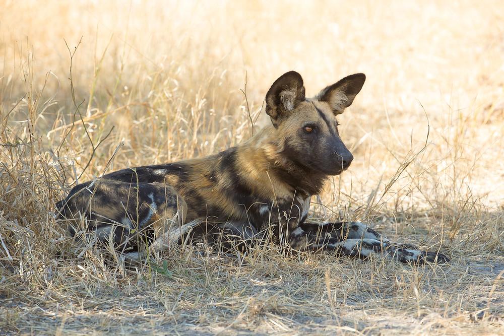 A wild dog in the Okavango, Botswana