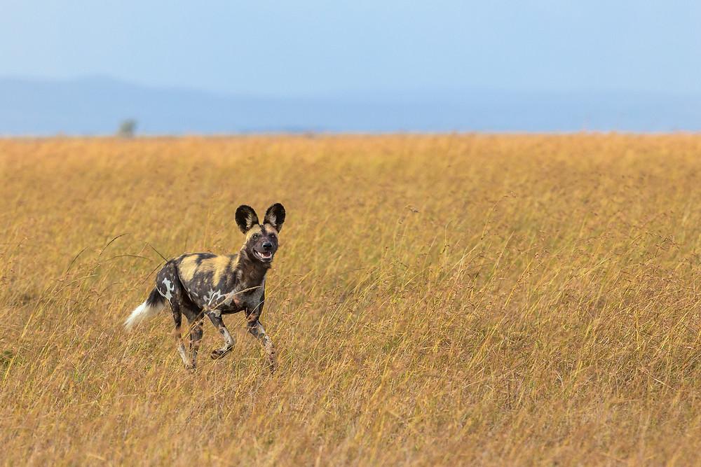 Wild Dog  in Masai Mara, Kenya