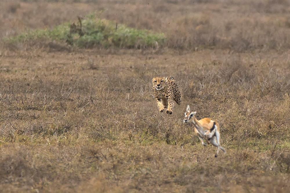 Cheetah hunting in Serengeti National Park