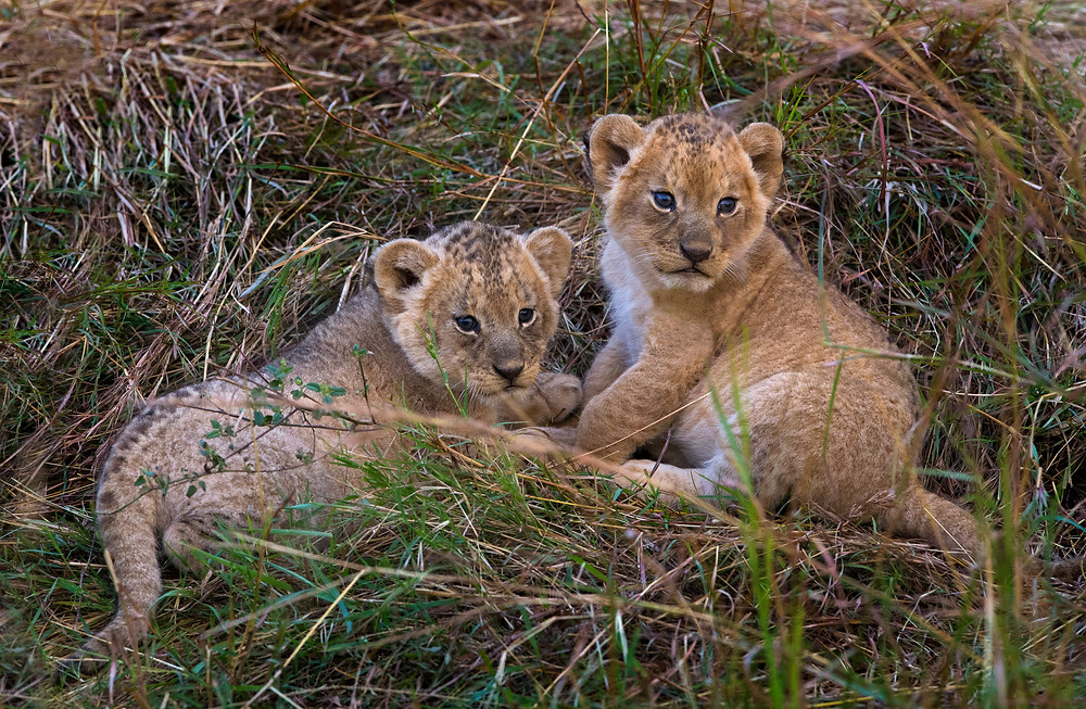 Two lion cubs in the Serengeti National Park, Tanzania
