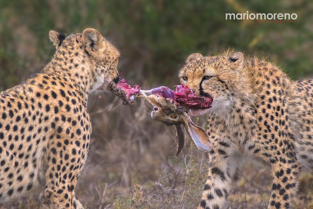 Cheetahs fighting over a kill in Serengeti