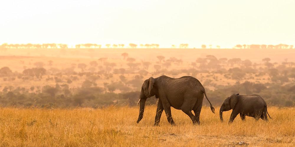 Elephants in the Serengeti National Park, Tanzania