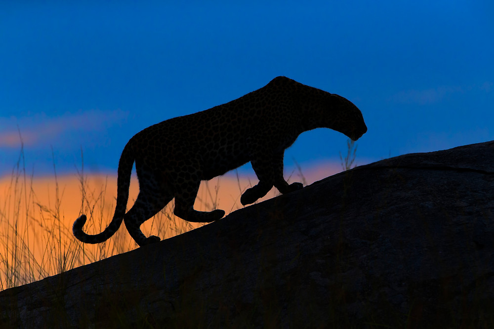 A silhouette of a leopard at sunset in the Serengeti National Park, Tanzania