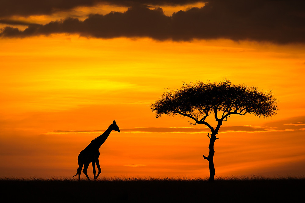 A giraffe silhouette at sunset in Masai Mara