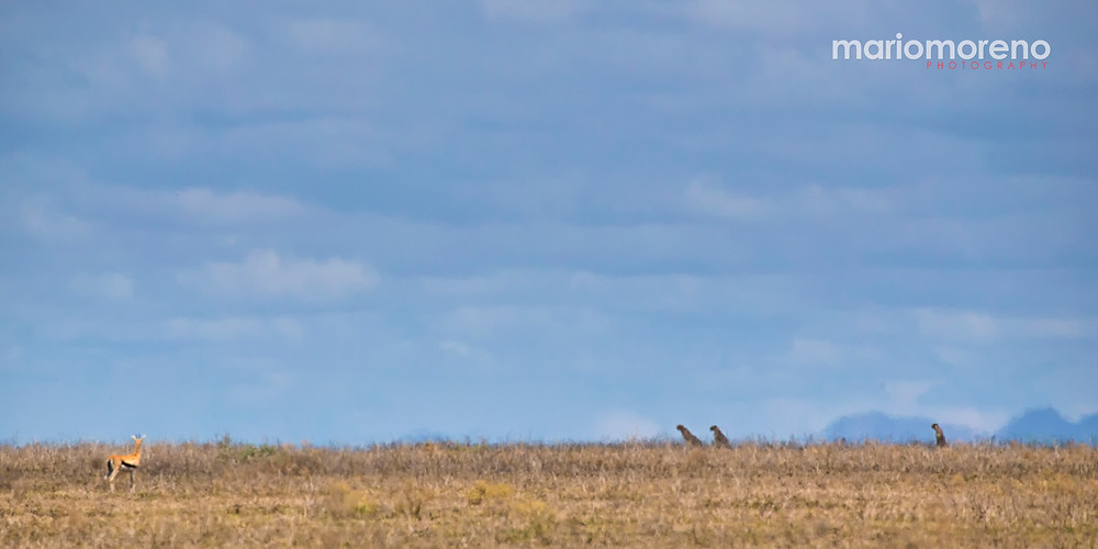Cheetahs stalking a gazelle in the Serengeti