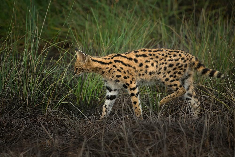 Serval Cat in Ndutu