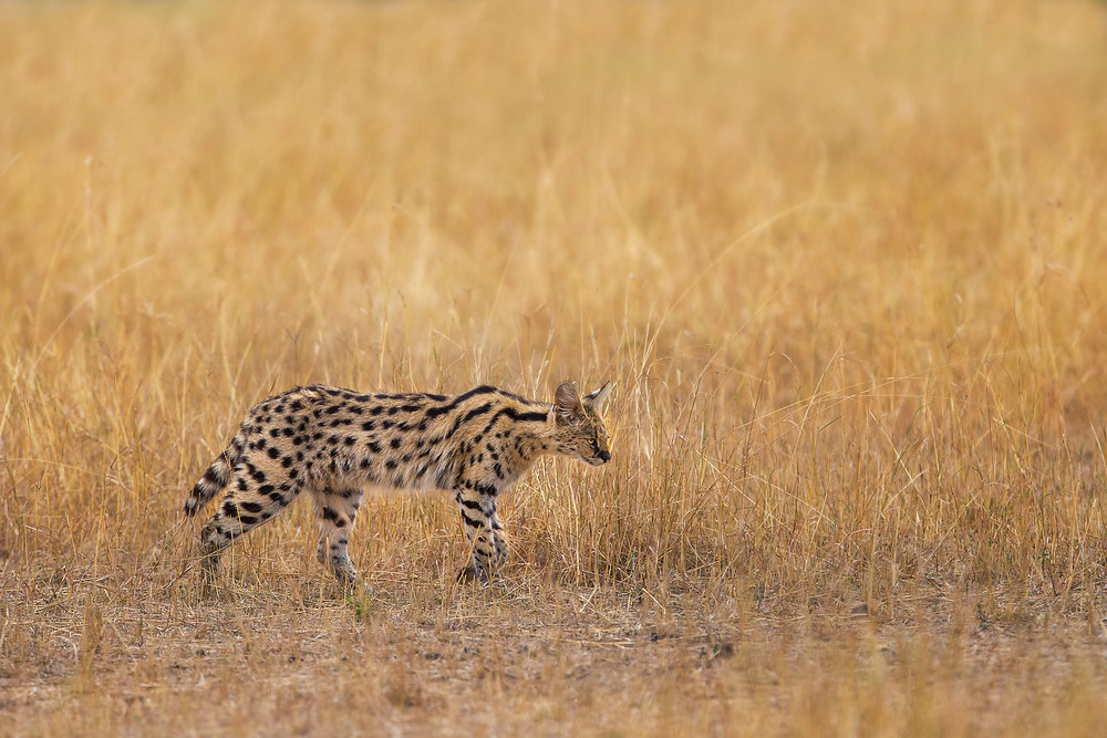 A serval cat in the Serengeti National Park, Tanzania