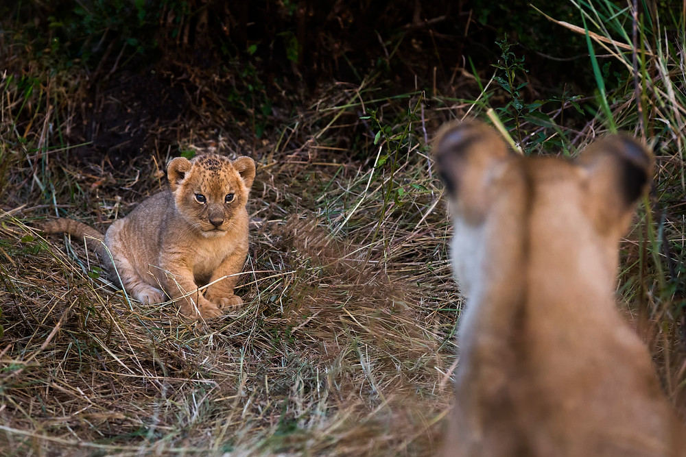 A lion cub in the Serengeti National Park, Tanzania