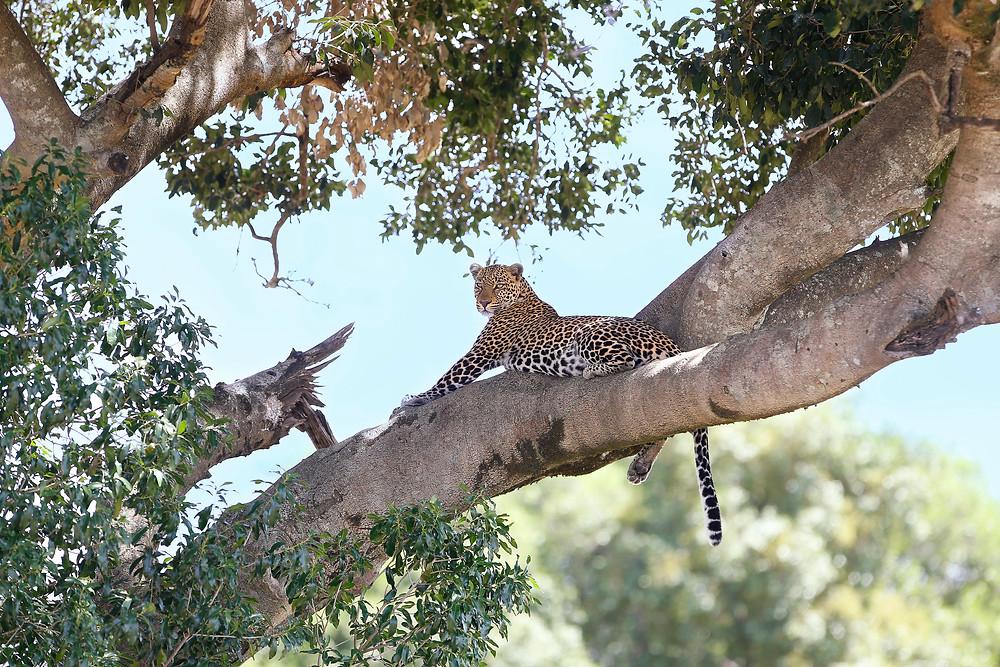 Leopard in a tree in Masai Mara, Kenya