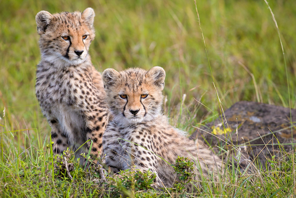 Cheetah cubs in Masai Mara