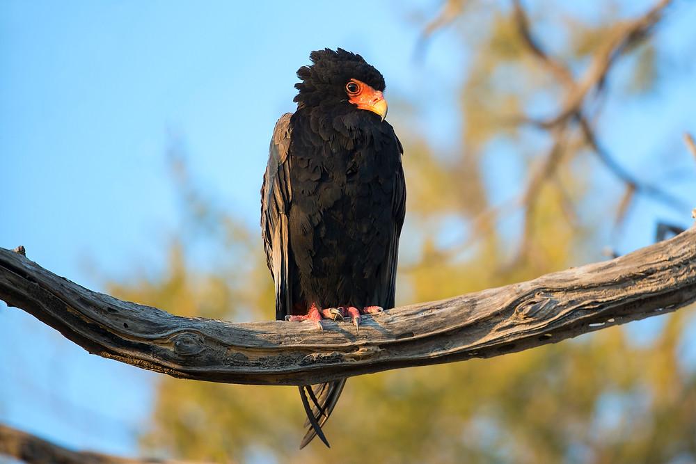 A Bateleur Eagle in the Okavango Delta in Botswana