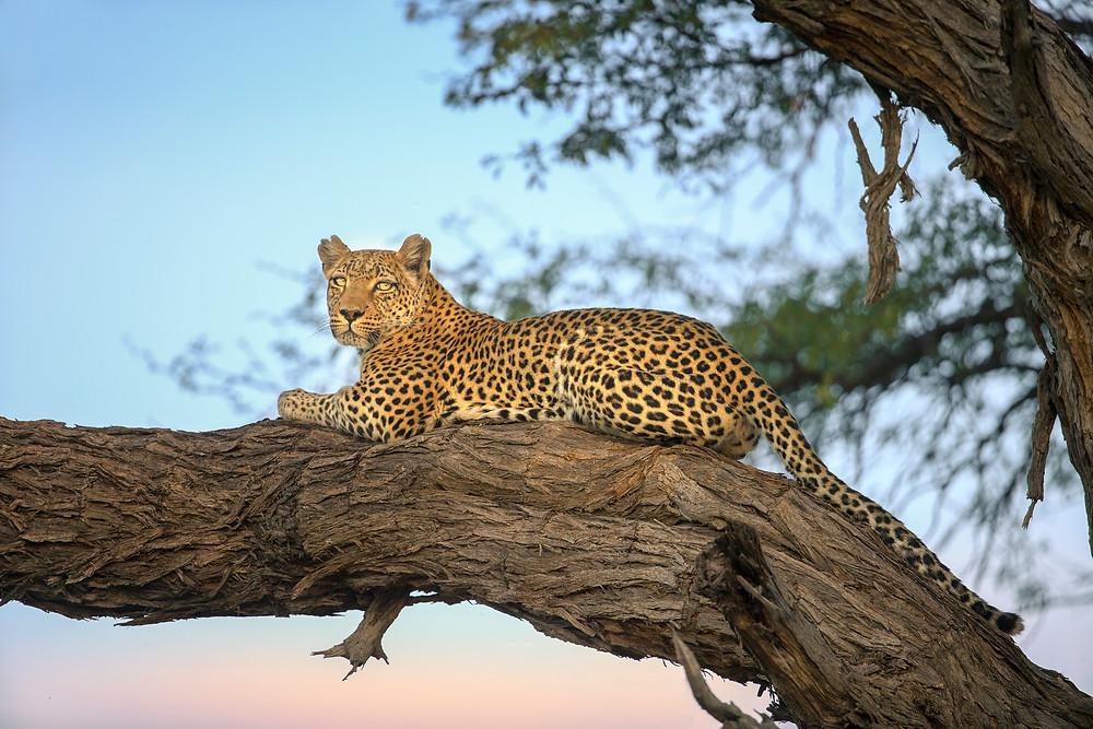 Leopard in a tree in the Okavango Delta in Botswana