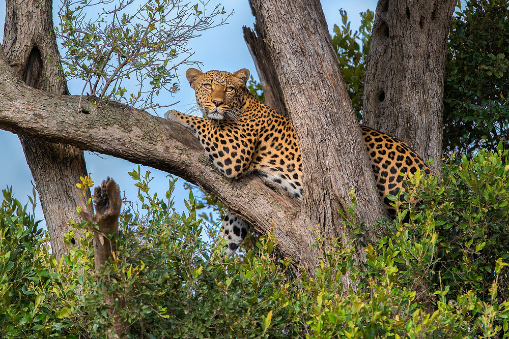 Leopard in Mara North Conservancy