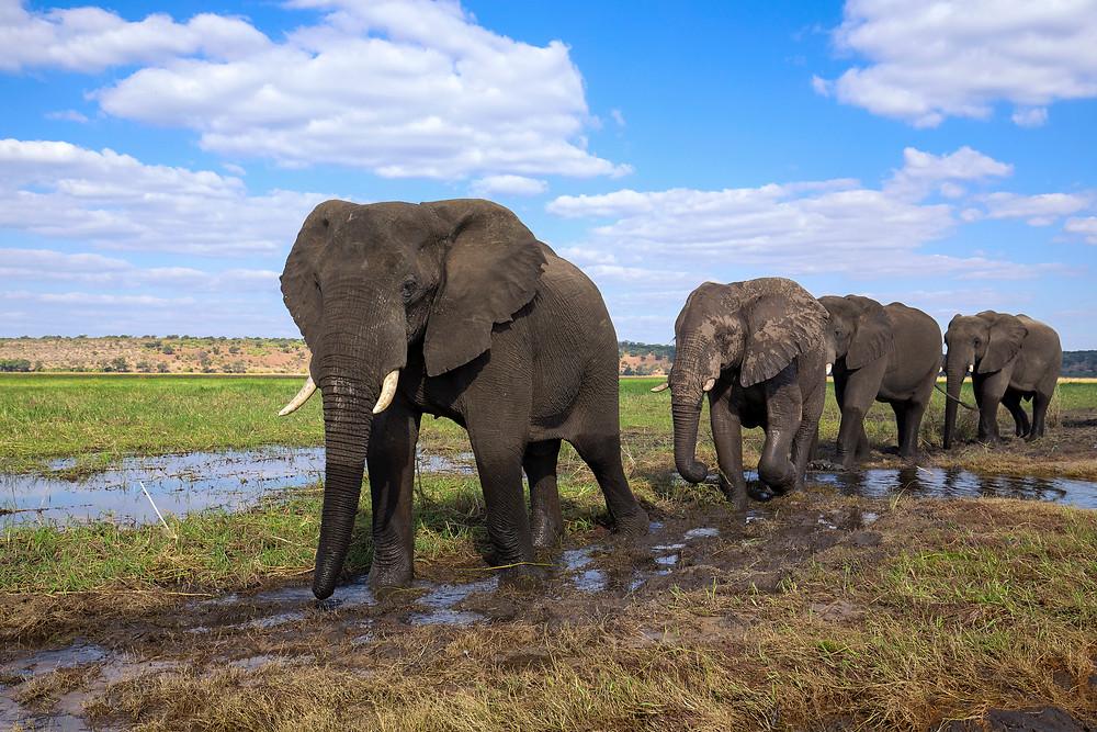 Elephant herd in Chobe National Park, Botswana
