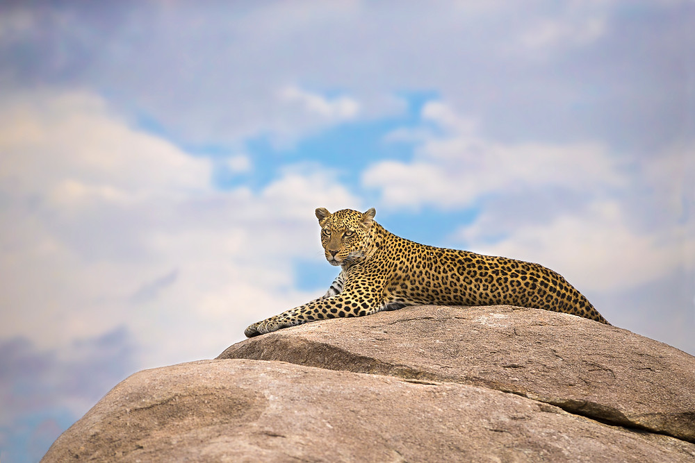 A leopard on a rock in the Serengeti National Park, Tanzania