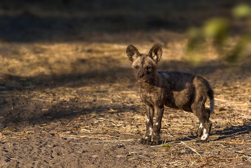 A wild dog puppy in the Okavango Delta in Botswana
