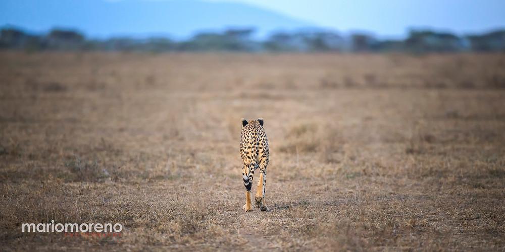 A cheetah in Serengeti