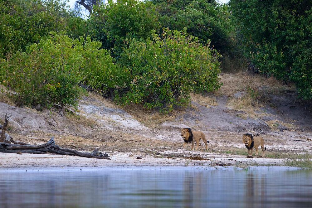 Male Lions in Chobe National Park, Botswana