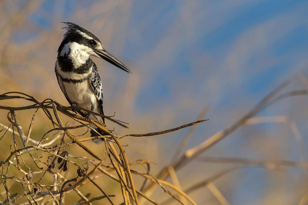 A Pied Kingfisher in Chobe National Park, Botswana