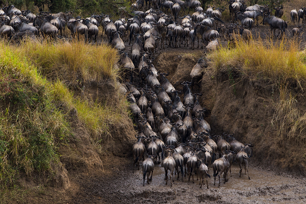Wildebeest crossing the Mara River in the Serengeti National Park, Tanzania