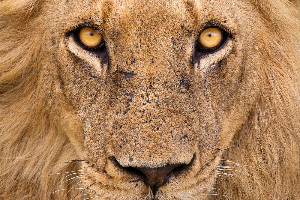 Eyes of a male lion in Kruger National Park