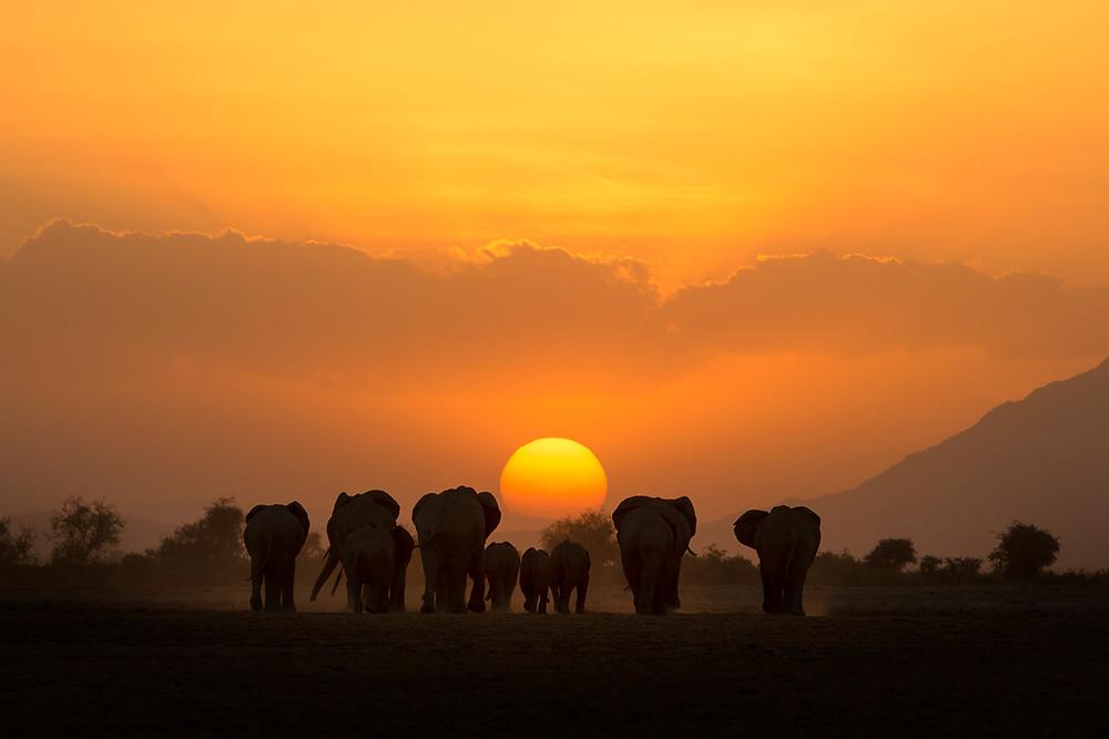 Elephant herd at sunset in Amboseli, Kenya