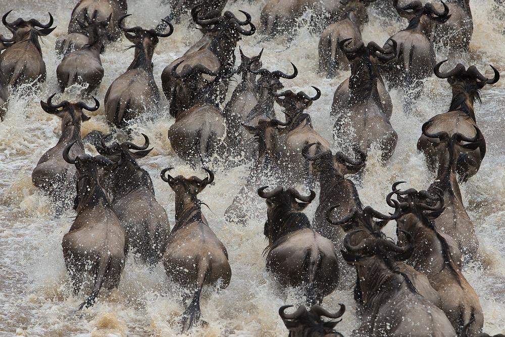 Great Migration in the Serengeti National Park, Tanzania