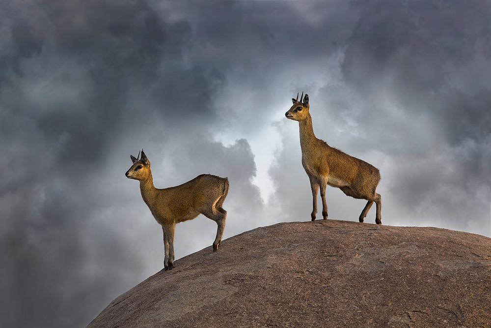 Klipspringers on a kopje, Serengeti National Park