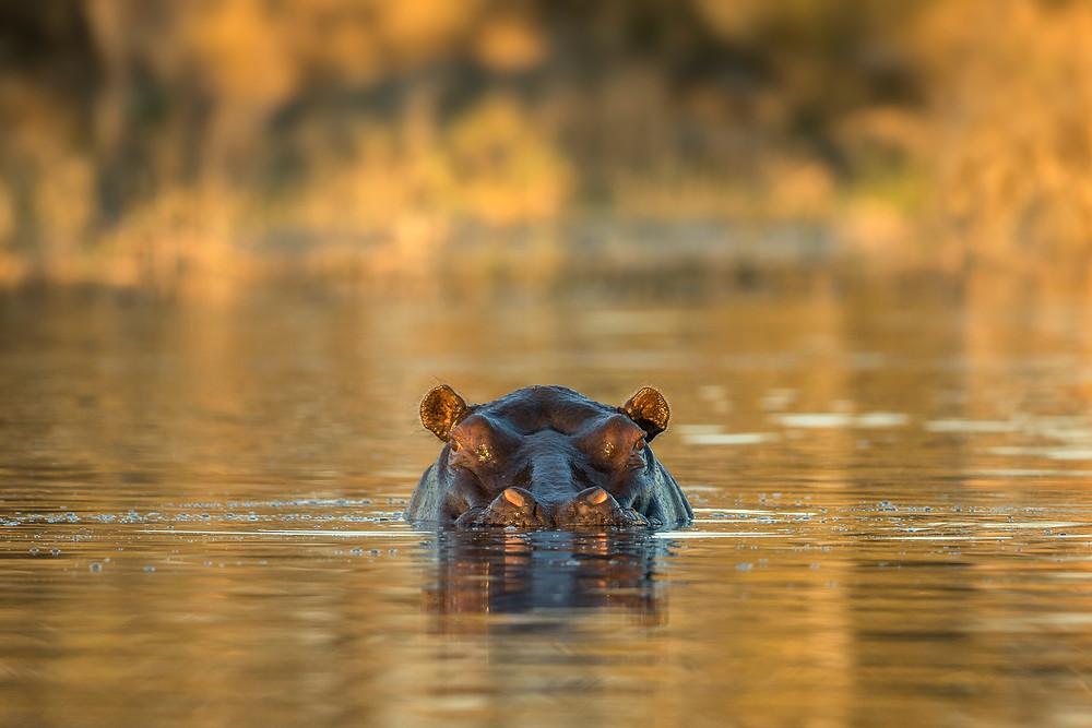 A hippo in the Okavango, Botswana