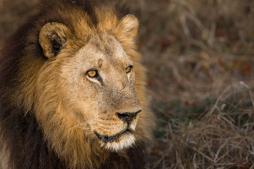 A male Lion in the Okavango Delta , Botswana