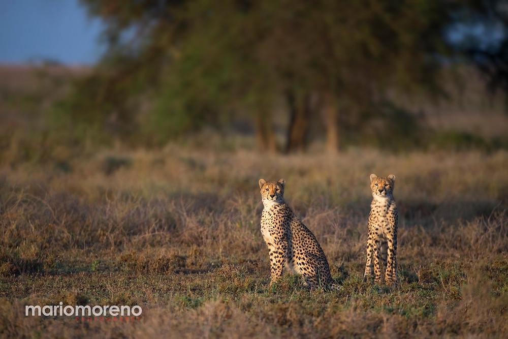 Cheetahs in Serengeti
