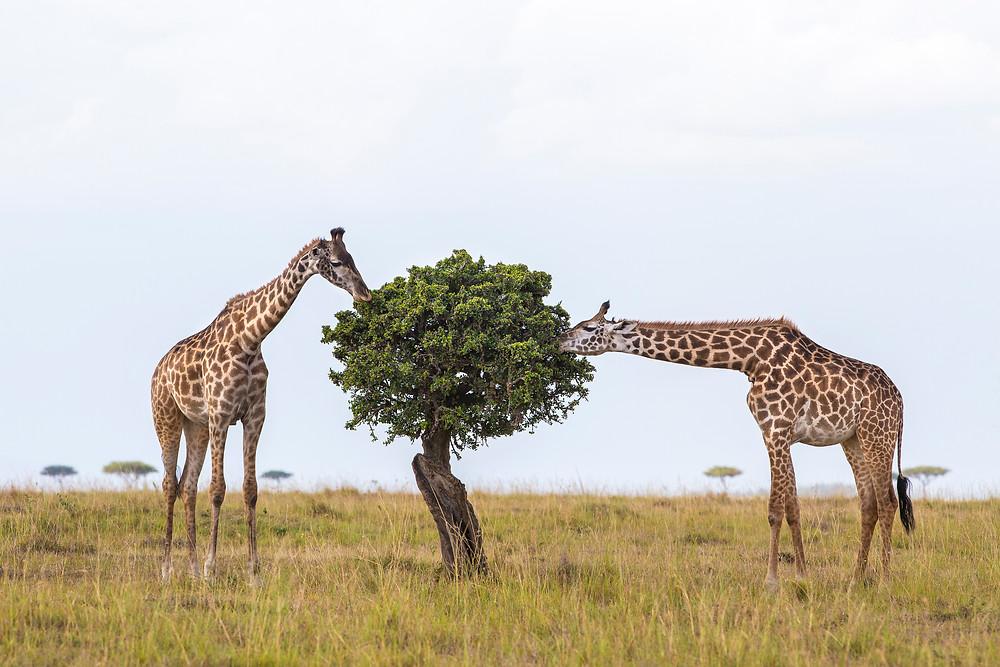 Giraffes on the plains  in Masai Mara, Kenya