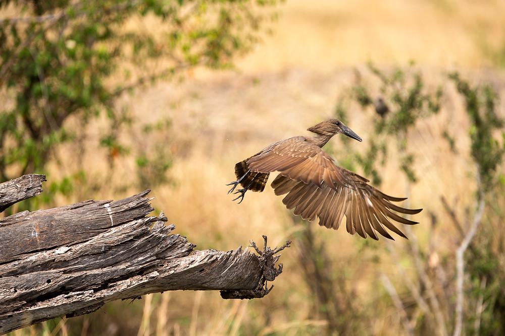 A hammerkop in the Serengeti National Park, Tanzania