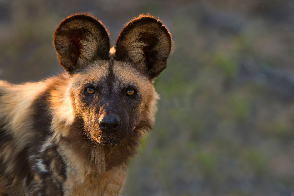 Wild Dog in the Okavango Delta, Botswana
